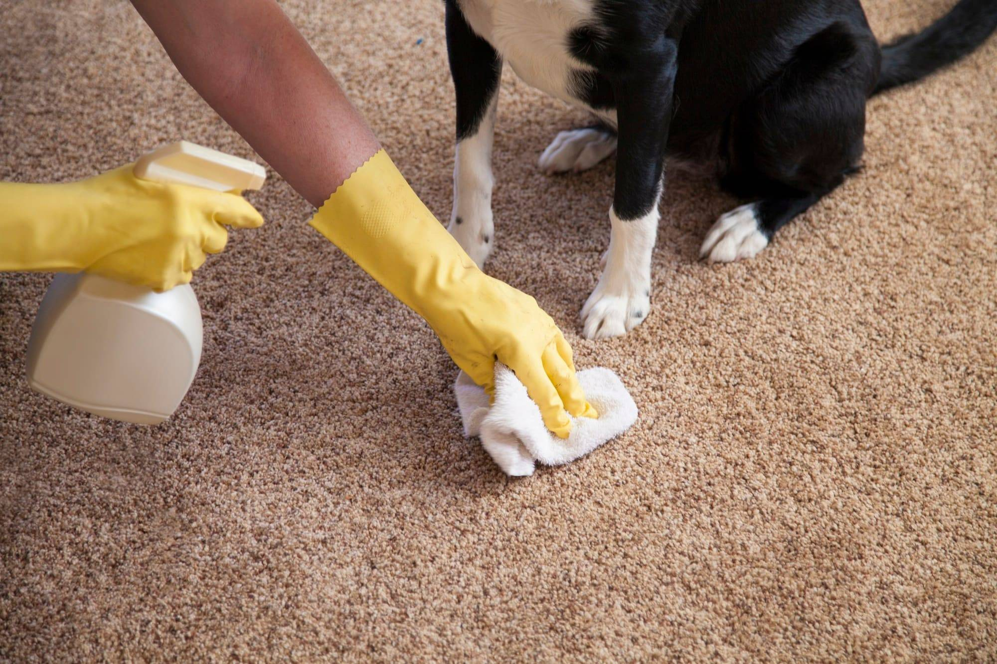 tow hands with yellow gloves holding shower in one and towel in other and a dog is sitting very next to it